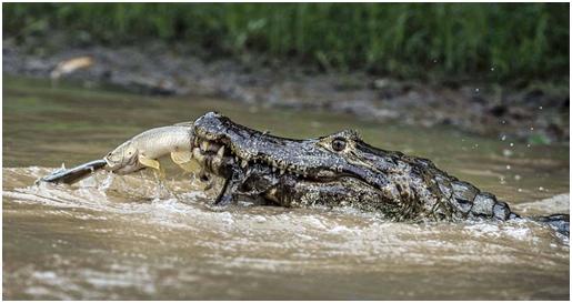 krokodili han dy peshq pernjehere